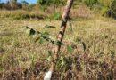 BOSQUE DA MEMÓRIA: SEGUNDO PLANTIO
